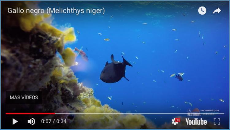 GALLO NEGRO (Melichthys niger)