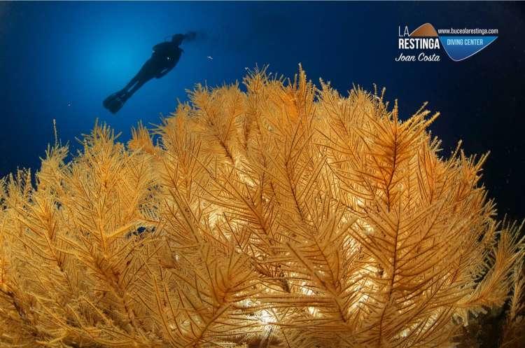Coral negro con buceador