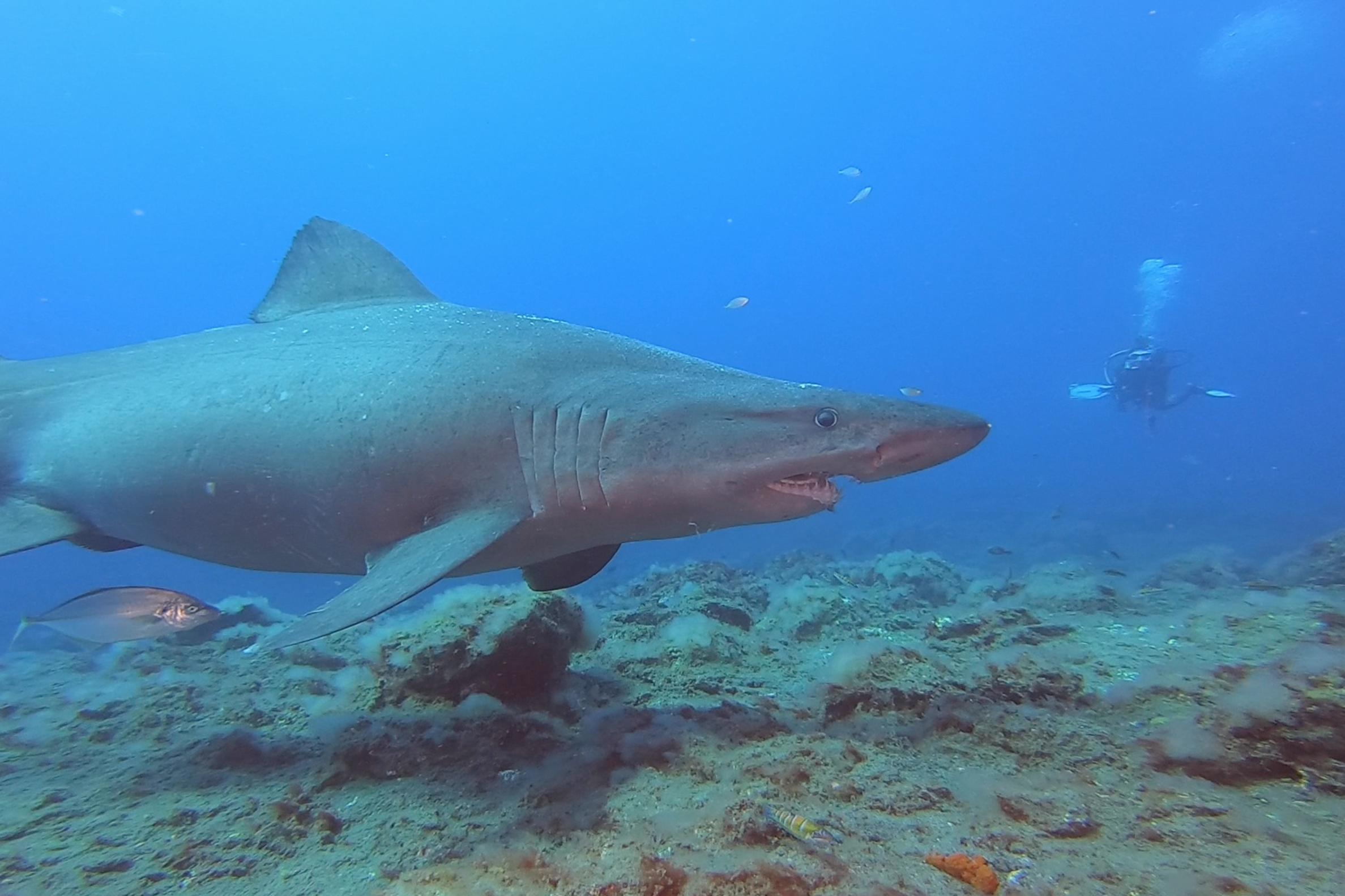 Avistamiento de 2 tiburonas solrayo - Isla El Hierro