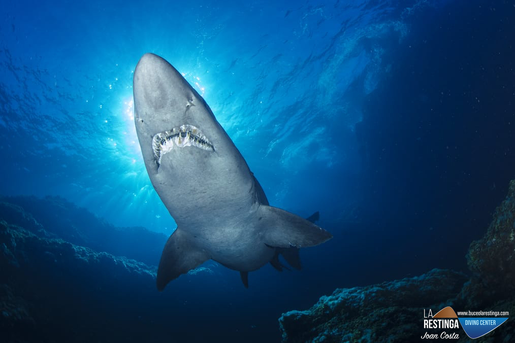 Tiburon Solrayo ♥️
